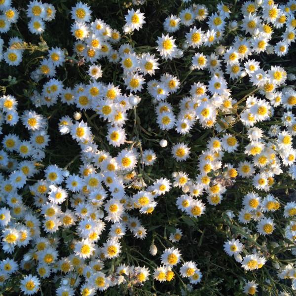 tractorgirl - so many daisies