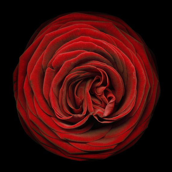 moongardenart - red rose passion