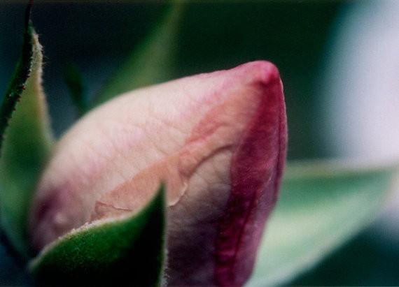 bialakura - rosebud