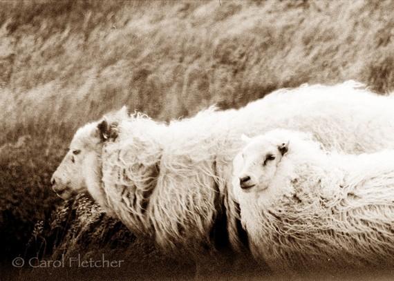 carol fletcher  icelandic sheep in the wind
