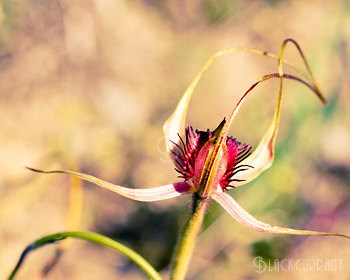 Kell Rowe / Blackcurrant Photography - Australian wildflower